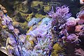 Colorful anemone growing on coral in London aquarium.jpg