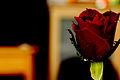 Colorful rose.jpg