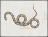 Coluber getulus - 1700-1880 - Print - Iconographia Zoologica - Special Collections University of Amsterdam - UBA01 IZ12100305.tif