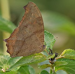 Common Evening Brown (Melanitis leda) in Kawal, AP W IMG 1932.jpg