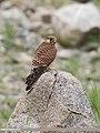 Common Kestrel (Falco tinnunculus) (36634444165).jpg