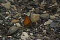 Common Leopard Phalanta phalantha WLB IMG 9284 06.jpg