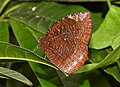 Common Palmfly Elymnias hypermnestra by Dr. Raju Kasambe DSCN4297 (4).jpg