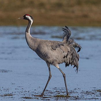 Common crane in breeding plumage.