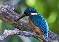 Common kingfisher, October 2015, Osaka VII - AdobeRGB.jpg