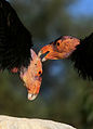 Condors-1.jpg