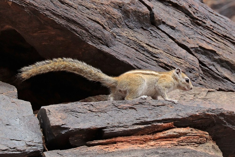 The average litter size of a Congo rope squirrel is 2