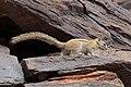 Congo rope squirrel (Funisciurus congicus).jpg