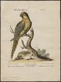 Conurus aureus - 1700-1880 - Print - Iconographia Zoologica - Special Collections University of Amsterdam - UBA01 IZ18500173.tif