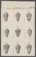 Conus cedonulli - - Print - Iconographia Zoologica - Special Collections University of Amsterdam - UBAINV0274 086 06 0026A.tif