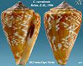 Conus curralensis 1.jpg