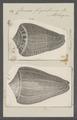 Conus figulinus - - Print - Iconographia Zoologica - Special Collections University of Amsterdam - UBAINV0274 086 03 0014.tif