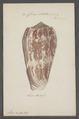 Conus striatus - - Print - Iconographia Zoologica - Special Collections University of Amsterdam - UBAINV0274 085 10 0061.tif