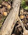 Coprinellus micaceus 123086754.jpg