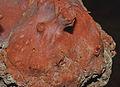 Corallium rubrum (Linnaeus, 1758) 5.jpg