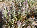Cordylanthus palmatus.jpg
