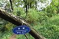 Cornus capitata (Dendrobenthamia capitata) - Chengdu Botanical Garden - Chengdu, China - DSC03397.JPG