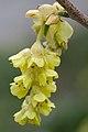 Corylopsis willmottiae flower ÖBG Bayreuth.jpg