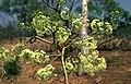 Corymbia confertiflora buds.jpg