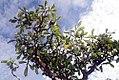 Cosmibuena grandiflora 3zz.jpg