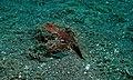 Couple of Robust Ghostpipefishes (Solenostomus cyanopterus) (8457275492).jpg