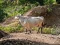 Cow, Oguz (P1090486).jpg