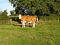 Cow near Westend House - geograph.org.uk - 250456.jpg