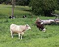 Cows at Great Waltham village, Essex, England 04.JPG
