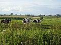 Cows in field - geograph.org.uk - 502335.jpg