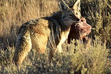 fe6e364939e07 A coyote with a scrap of road-killed pronghorn in Seedskadee National  Wildlife Refuge, Wyoming