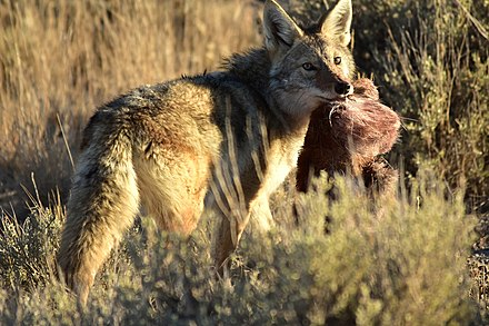 A coyote with a scrap of road-killed pronghorn in Seedskadee National Wildlife Refuge, Wyoming Coyote at Seedskadee National Wildlife Refuge (31034864347).jpg