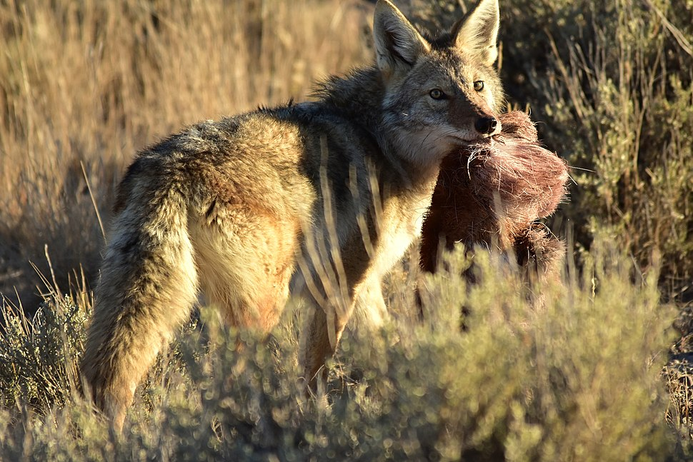 Coyote at Seedskadee National Wildlife Refuge (31034864347)