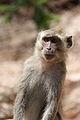Crab-eating macaque at Rinca.JPG