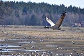 Crane Lake Hornborga.jpg