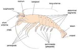 Shrimp - Wikipedia