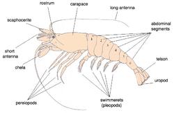 shrimp wikipedia