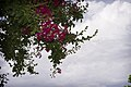 Crape Myrtle and Stormy Sky (4747008113).jpg
