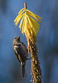 Crescent Honeyeater 2.jpg