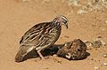 Crested Francolin, Dendroperdix sephaena, feeding in dung at Pilanesberg National Park, Northwest Province, South Africa (29233185593).jpg