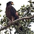 Crested Serpent Eagle I IMG 9342.jpg