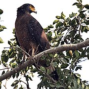Crested Serpent Eagle,a common resident