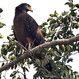 Crested Serpent Eagle I IMG 9342.jpg