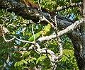 Crimson-fronted Parakeet. Aratinga finschi - Flickr - gailhampshire.jpg