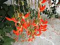 Crista-de-galo (Camptosema grandiflora), brazilian native. Sao Paulo Botanical garden8.jpg