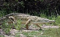Crocodile high walk.jpg