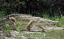 крокодилы фото с названиями