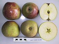 Cross section of Pomme d'Enfer, National Fruit Collection (acc. 1948-228).jpg
