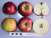 Cross section of Red Elstar, National Fruit Collection (acc. 1987-040).jpg