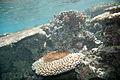 Crown-of-thorns starfish Acanthaster planci (7569625822).jpg
