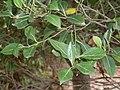 Cryptocarya foveolata - leaves.JPG